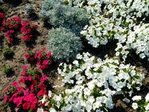 Κόκκινα και άσπρα pansies λουλουδιών σε έναν χορτοτάπητα που ανθίζει το καλοκαίρι Στοκ φωτογραφίες με δικαίωμα ελεύθερης χρήσης