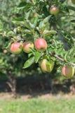 Κόκκινα και κίτρινα μήλα στο δέντρο μηλιάς στον οπωρώνα Στοκ Εικόνες
