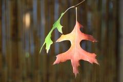 Κόκκινα και κίτρινα δρύινα φύλλα φθινοπώρου Στοκ εικόνες με δικαίωμα ελεύθερης χρήσης