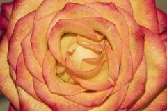 Κόκκινα και κίτρινα τριαντάφυλλα Στοκ Εικόνες