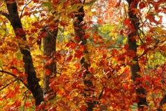 Κόκκινα και κίτρινα φύλλα πτώσης στοκ εικόνες