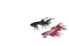 Κόκκινα και μαύρα ψάρια betta Στοκ φωτογραφία με δικαίωμα ελεύθερης χρήσης