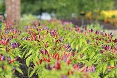Κόκκινα και πορφυρά καυτά πιπέρια που φυτεύονται σε έναν υπόλοιπο κόσμο που αυξάνεται στον κήπο Στοκ φωτογραφία με δικαίωμα ελεύθερης χρήσης