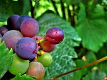 Κόκκινα και πράσινα σταφύλια κρασιού στοκ φωτογραφία με δικαίωμα ελεύθερης χρήσης