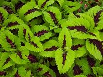 Κόκκινα και πράσινα φύλλα τοπ άποψης του φυτού Στοκ φωτογραφία με δικαίωμα ελεύθερης χρήσης