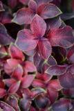 Κόκκινα και πράσινα φύλλα του coleus φυτού, Plectranthus scutellarioides Στοκ Εικόνες