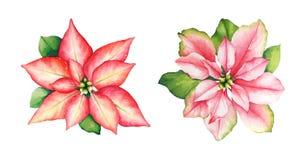 Κόκκινα και ρόδινα λουλούδια poinsettia Watercolor με τα πράσινα φύλλα επάνω διανυσματική απεικόνιση