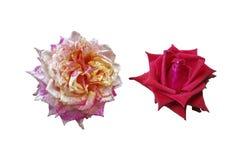 Κόκκινα και ρόδινα τριαντάφυλλα που απομονώνονται στοκ φωτογραφίες με δικαίωμα ελεύθερης χρήσης