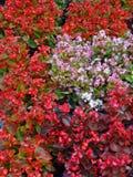 Κόκκινα και ρόδινα λουλούδια στο θάμνο Στοκ φωτογραφία με δικαίωμα ελεύθερης χρήσης