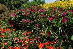 Κόκκινα και ρόδινα λουλούδια Impatiens στα flowerbeds στοκ φωτογραφίες