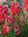 Κόκκινα και ρόδινα λουλούδια snapdragon Στοκ Φωτογραφίες