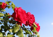 Κόκκινα και όμορφα τριαντάφυλλα στα πλαίσια του μπλε ουρανού στοκ εικόνα με δικαίωμα ελεύθερης χρήσης