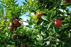 Κόκκινα και ώριμα μήλα εν αφθονία Στοκ φωτογραφία με δικαίωμα ελεύθερης χρήσης