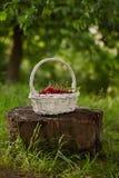 Κόκκινα κεράσια σε ένα καλάθι στοκ εικόνες