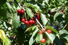 Κόκκινα κεράσια στο δέντρο κερασιών στον οπωρώνα για την επιλογή στοκ φωτογραφία