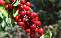 Κόκκινα κεράσια στο δέντρο κερασιών στον οπωρώνα για την επιλογή στοκ εικόνες με δικαίωμα ελεύθερης χρήσης