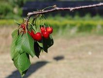 Κόκκινα κεράσια Στοκ Φωτογραφία