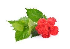 Κόκκινα κινεζικά αυξήθηκε λουλούδι ή κόκκινα hibiscus με τα φύλλα στη λευκιά ΤΣΕ Στοκ Φωτογραφίες