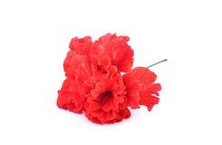 Κόκκινα κινεζικά αυξήθηκε λουλούδι ή κόκκινα hibiscus με το μίσχο στο άσπρο backg Στοκ εικόνες με δικαίωμα ελεύθερης χρήσης