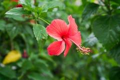 Κόκκινα κινεζικά αυξήθηκε, λουλούδι παπουτσιών ή ένα λουλούδι κόκκινα hibiscus με τα πράσινα φύλλα, Στοκ εικόνες με δικαίωμα ελεύθερης χρήσης