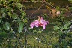 Κόκκινα κινεζικά αυξήθηκε, λουλούδι παπουτσιών ή ένα λουλούδι κόκκινα hibiscus με τα πράσινα φύλλα, επιστημονικό όνομα ως Hibiscu Στοκ Φωτογραφίες