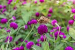 Κόκκινα κινεζικά αυξήθηκε, λουλούδι παπουτσιών ή ένα λουλούδι κόκκινα hibiscus με τα πράσινα φύλλα, επιστημονικό όνομα ως Hibiscu Στοκ φωτογραφία με δικαίωμα ελεύθερης χρήσης