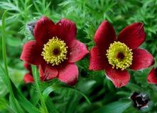 Κόκκινα κουδούνια Pulsatilla vulgaris στοκ φωτογραφίες