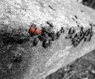 Κόκκινα κόκκινα σκουλήκια Στοκ Εικόνες