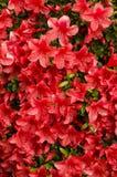 Κόκκινα λουλούδια αζαλεών Στοκ Φωτογραφίες