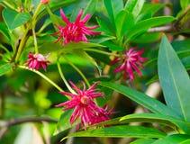 Κόκκινα λουλούδια γλυκάνισου ένα καλοκαίρι σε έναν βοτανικό κήπο Στοκ Εικόνες