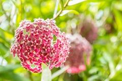 Κόκκινα λουλούδια, εγκαταστάσεις κεριών, Hoya ovalifolia Wight & Arn Στοκ εικόνες με δικαίωμα ελεύθερης χρήσης