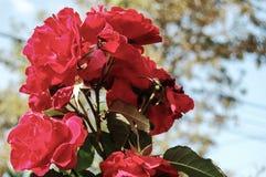 Κόκκινα λουλούδια με το θολωμένο υπόβαθρο στοκ εικόνες
