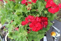 Κόκκινα λουλούδια στοκ φωτογραφία με δικαίωμα ελεύθερης χρήσης