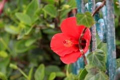 Κόκκινα λουλούδια παπαρουνών σε έναν τομέα στοκ φωτογραφία με δικαίωμα ελεύθερης χρήσης