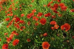 Κόκκινα λουλούδια παπαρουνών στη χλόη στοκ εικόνες