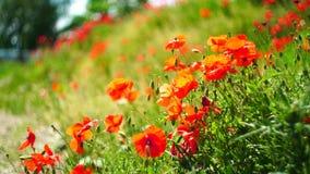 Κόκκινα λουλούδια παπαρουνών στον κοντινό του Μόναχου στη Βαυαρία Γερμανία Ο αέρας παίζει ήπια με τους Σε αργή κίνηση βίντεο Φύση φιλμ μικρού μήκους
