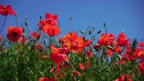 Κόκκινα λουλούδια παπαρουνών στον κοντινό του Μόναχου στη Βαυαρία Γερμανία Ο αέρας παίζει ήπια με τους Σε αργή κίνηση βίντεο Φύση απόθεμα βίντεο