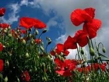 Κόκκινα λουλούδια παπαρουνών Στοκ Εικόνες