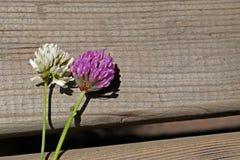 Κόκκινα λουλούδια πορφυρού και άσπρου τριφυλλιού μαζί στο καφετί ξύλινο τ στοκ φωτογραφίες με δικαίωμα ελεύθερης χρήσης