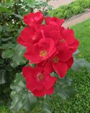 Κόκκινα λουλούδια σε έναν κλάδο Στοκ εικόνες με δικαίωμα ελεύθερης χρήσης