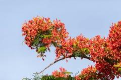Κόκκινα λουλούδια σε ένα βασιλικό regia Delonix δέντρων Poinciana στοκ εικόνα