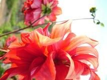 Κόκκινα λουλούδια στα όμορφα χρώματα στοκ εικόνα