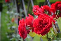 Κόκκινα λουλούδια στον κήπο Στοκ Εικόνα
