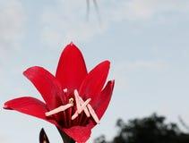 Κόκκινα λουλούδια στον ουρανό στοκ φωτογραφίες