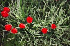 Κόκκινα λουλούδια τουλιπών κινηματογραφήσεων σε πρώτο πλάνο μεταξύ της χλόης και των πρασίνων στοκ εικόνες με δικαίωμα ελεύθερης χρήσης