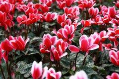 Κόκκινα λουλούδια τουλιπών Στοκ Φωτογραφία
