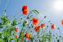 Κόκκινα λουλούδια των παπαρουνών και του πράσινου σίτου κάτω από το μπλε ουρανό Στοκ Εικόνες