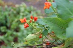 Κόκκινα λουλούδια φασολιών Στοκ Εικόνα