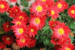 Κόκκινα λουλούδια φθινοπώρου Στοκ φωτογραφίες με δικαίωμα ελεύθερης χρήσης