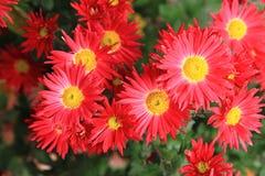Κόκκινα λουλούδια φθινοπώρου Στοκ φωτογραφία με δικαίωμα ελεύθερης χρήσης